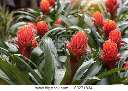 red color of Guzmania flower in garden