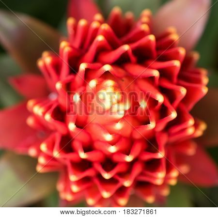 red color of Guzmania flower in garden