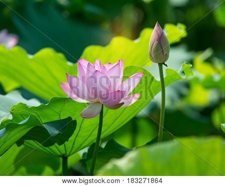 lotus flower ,Symbol of purity.