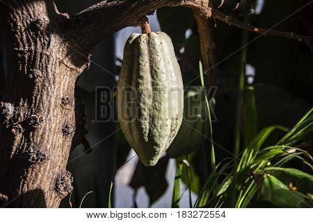 cacao, cacao tree, cacao concept, cacao raw, fresh cacao, green cocoa fruit on a tree in the forest, cocoa fruit,