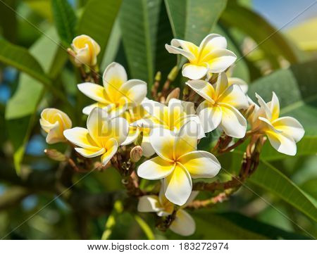 frangipani or plumeria tropical flower in nature