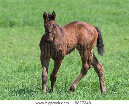 Thoroughbred horse foal on a farm in Kentucky.
