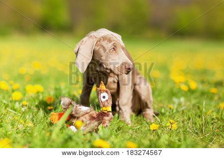 Cute Weimaraner Puppy Plays With A Plushie