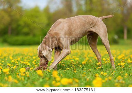 Weimaraner Dog Playing In A Dandelion Meadow