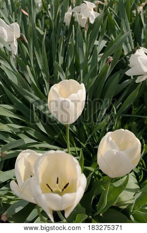 White tulips and daffodils with green leaves