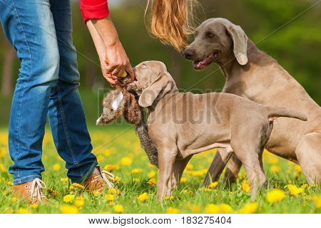 Person With Weimaraner Adult Dog And Puppy