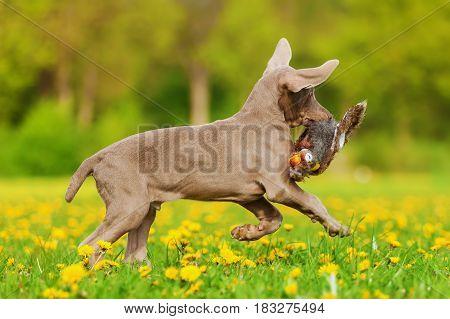 Cute Weimaraner Puppy Runs With A Plushie