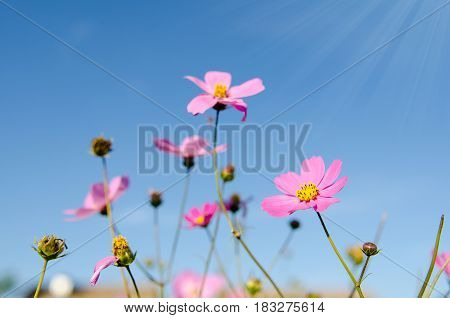 the pink cosmos in sunshine day ,Chaingmai Thailand