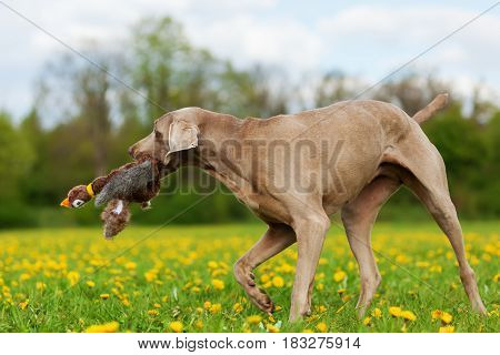Weimaraner With A Pheasant Plushie In The Snout