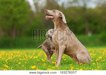 Weimaraner Adult Dog And Puppy Outdoors