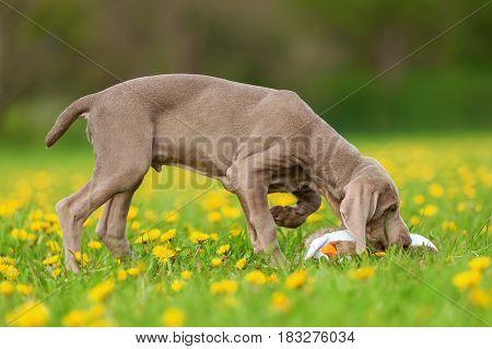 Cute Weimaraner Puppy In A Dandelion Meadow
