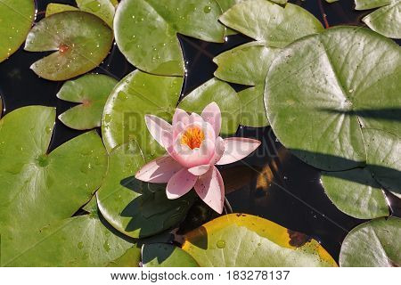Water-lily close-up. Shooting from the top. Beautiful flower.