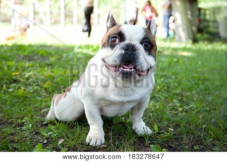 Pug Smiling, Dog is a friend of man.