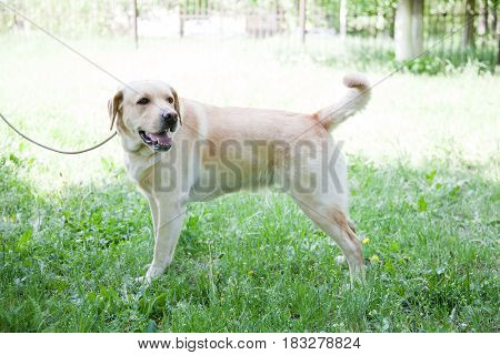 Labrador retriever. Responsive, Clever, Gentle, Friendly, Watchful. Dog is a friend of man.