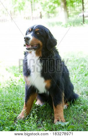 Responsive, Clever, Gentle, Friendly, Watchful. Dog is a friend of man. Bernese Sennenhund