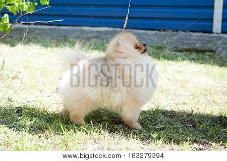 Fluffy Pomeranian. Dog is a friend of man.
