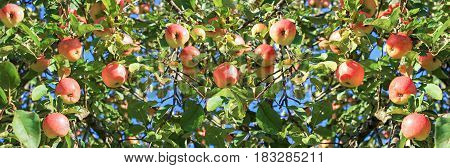 crop of red ripe apples on an apple-tree in garden. harvesting fruits apples in orchard panorama. panoramic view