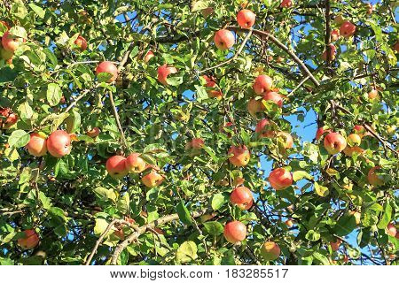 crop of red ripe apples on an apple-tree in garden. harvesting fruits apples in orchard