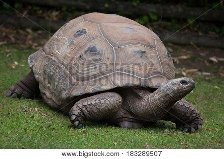 Aldabra giant tortoise (Aldabrachelys gigantea).