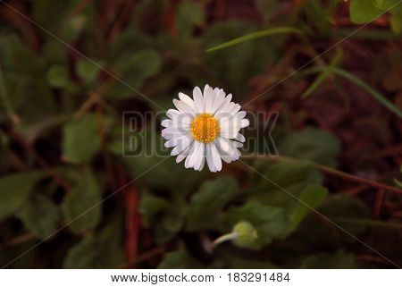 Daisy flower. Closeup of blooming Shasta daisies in a meadow.