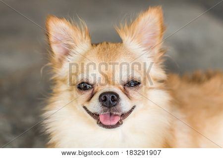 Smiling Dog Chihuahua was waiting for his owner.