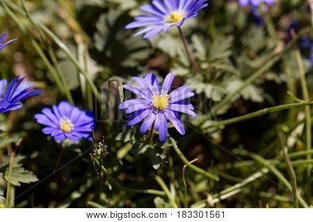 Flowers of a Balkan anemone (Anemone blanda)