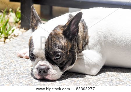 sleepy french bulldog on the floor , dog