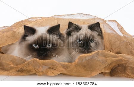 two ragdoll cats under a blanket