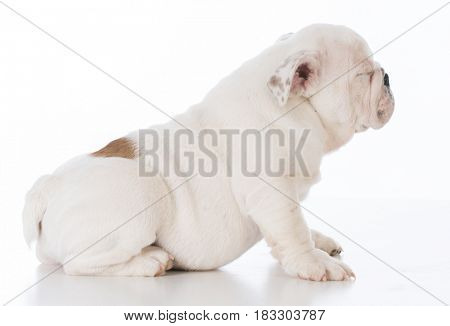 male bulldog puppy on white background