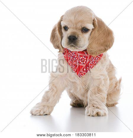 cocker spaniel puppy wearing red bandanna on white background