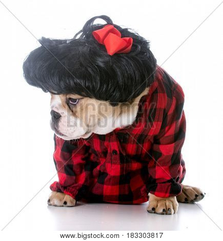 cute female bulldog puppy wearing wig on white background