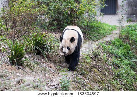 giant panda in chengdu wild zoo