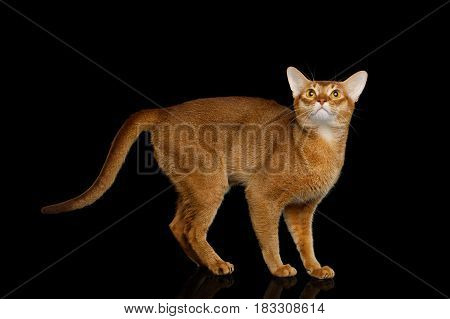Playful abyssinian cat standing at side with curious face, isolated on black background with reflection