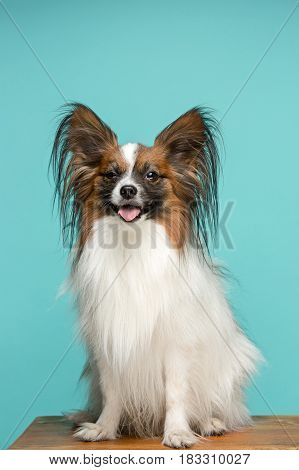 Studio portrait of a small yawning puppy Papillon on blue background