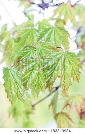 Blossoming maple leaves on a green background