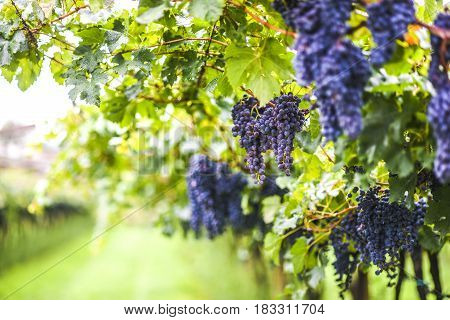 Growing grapes in vineyard Italy, summer time, Arco