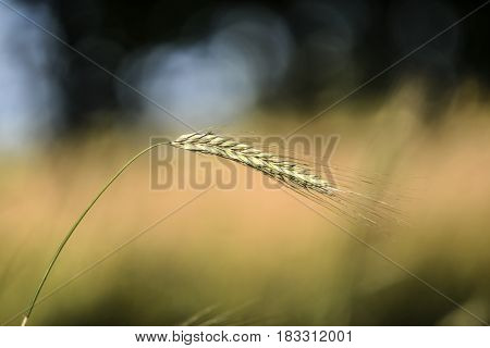 One blade of cereal, summer time, Poland