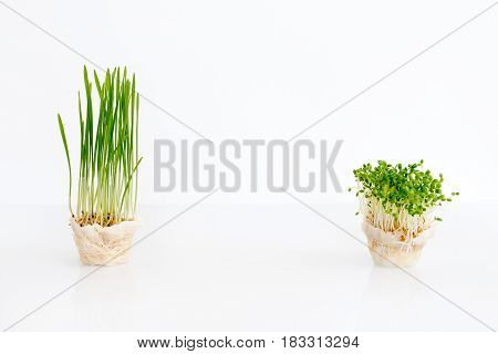 Growing microgreens on white background with free space for text. Healthy eating concept of fresh garden produce organically grown as a symbol of health
