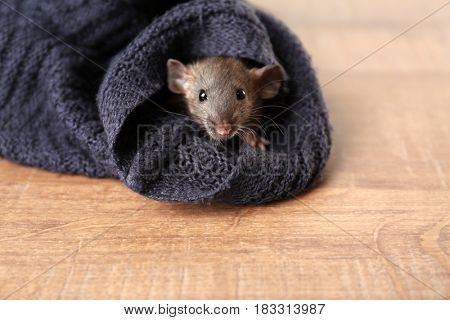 Cute funny rat hiding in sweater sleeve lying on wooden table