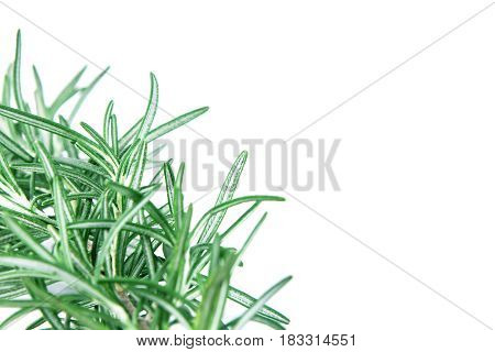 selective focus fresh green Rosemary on white background as frame border