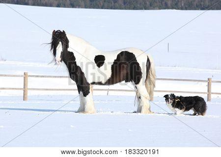 Amazing Irish Cob Stallion