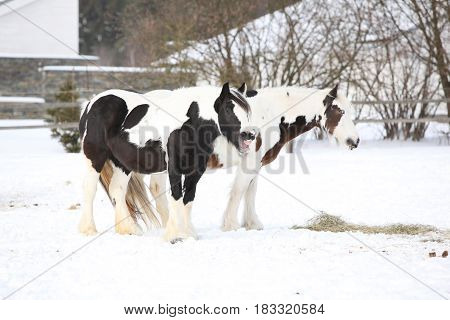 Nice Irish Cob Mares In Winter