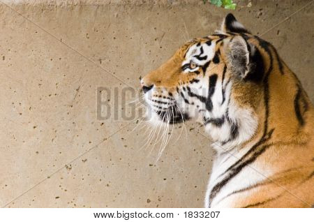 A portrait of a Siberian tiger against a wall . poster