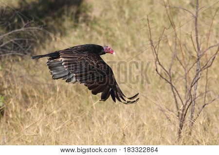 Turkey Vulture Cathartes aura in Flight over field