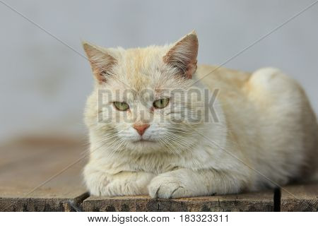 Sad ginger cat lies on an old wooden boards close-up