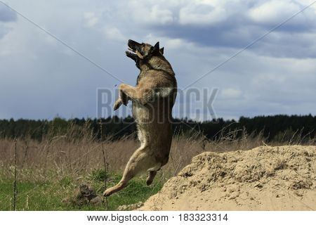German shepherd caught a stick in a jump at