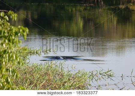 Inia geoffrensis pink dolphin a mammal of amazon river Brazil