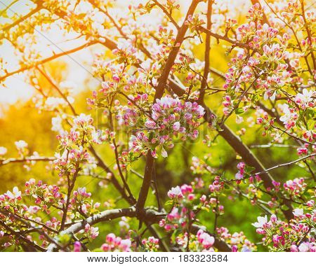 Branches of a blossoming apple tree in the golden rays of the sun toning a photo