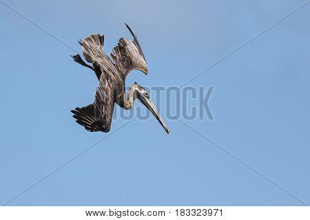 Brown pelican Pelecanus occidentalis hunting in the sea