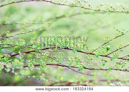 Buds of white shrub on a green background